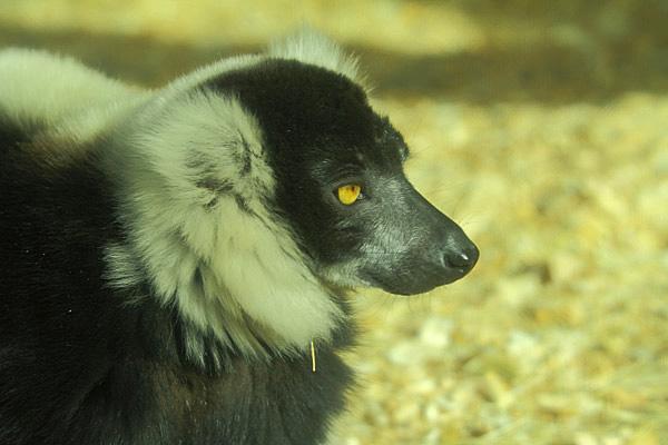 lemurup.jpg